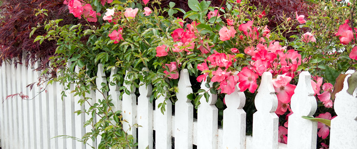 white fence with pink roses